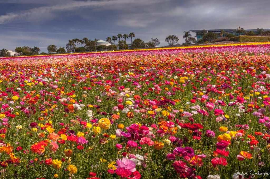The variety of ranunculus. Carlsbad Flower Fields