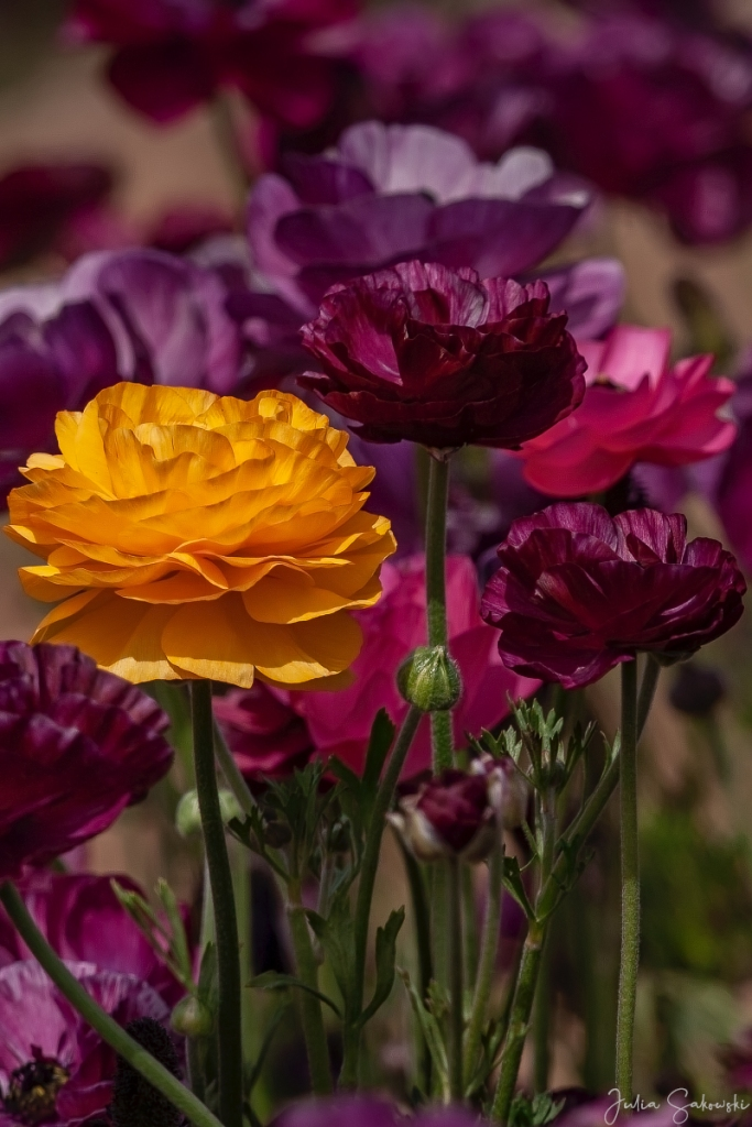 Purplish yellow ranunculus
